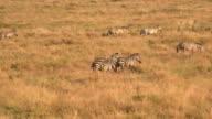 CLOSE UP: Wild zebras running in group across savannah field at golden sunset video