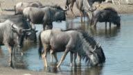 wildebeest drinking video