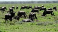 Wildebeest Giving Birth video