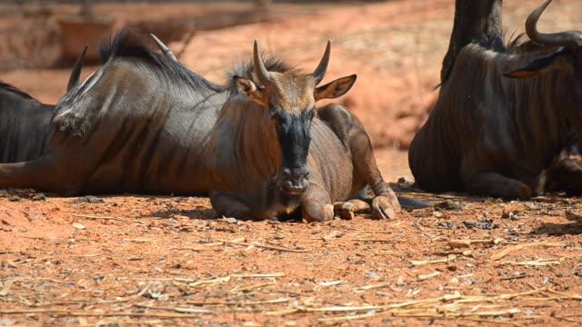 Wildebeest video