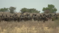 Wildebeest video