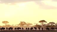 Wildebeests in Amboseli Park, Kenya video