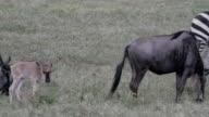 wildebeests with calves video