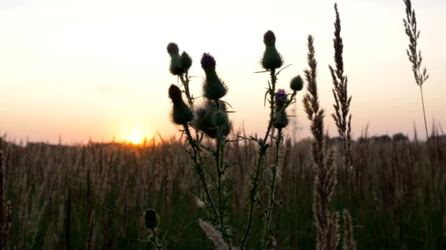Wildflowers close-up. During the sunset. video