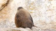 Wildlife - brown bear HD VIDEO video