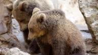 Wildlife - brown bear  Montage HD VIDEO video
