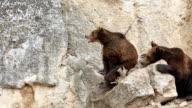 Wildlife - brown bear video