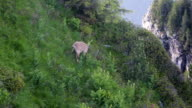 wildlife chamois in Swiss Alps video