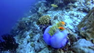 Wildlife clown fish in a anemone on maldives video