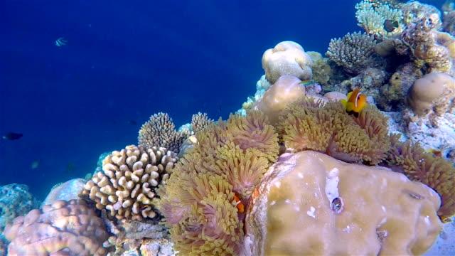 Wildlife clown fish in a sea anemone on maldives video