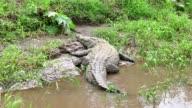 Wildlife Wild Animal Reptile American Crocodile Sleeping In Costa Rica video