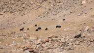 Wildlife Yak in field, Leh Ladakh, Jammu and Kashmir, India video