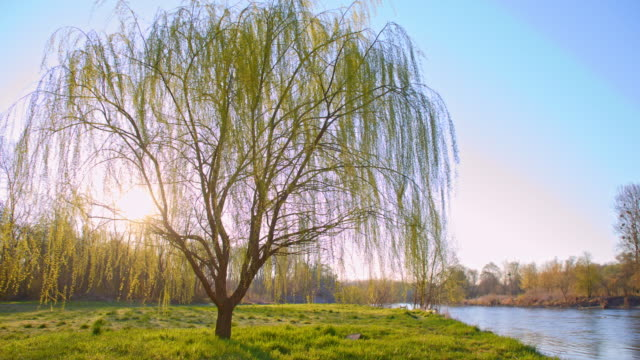 DS Willow tree by the river video