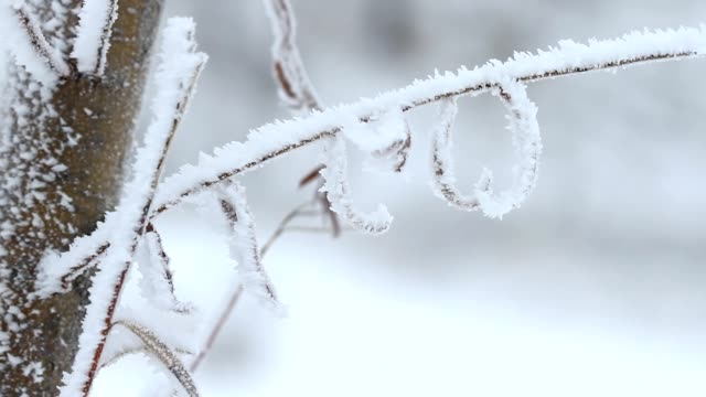 Willow tree in winter video