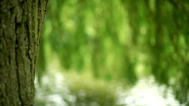 Willow tree trunk with branches over water in the background. video