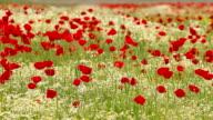 wind blowing across poppy field video