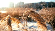 Wind Blowing Against Dried Reeds on a Winter Cold Day Weighing The Reeds Down video