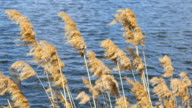 Wind blowing in the reed. Yellow grass on river with wind blow on the pond with blue water. Close up video