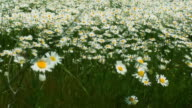 Wind blowing on Field of Daisies HD video