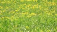 Wind Blowing on Field of Yellow Flowers, HD Video video