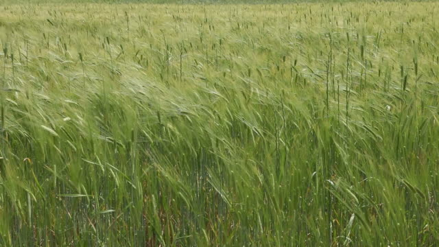 Wind Blowing Over Green Wheat Field video