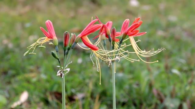 wind blowing red flower video