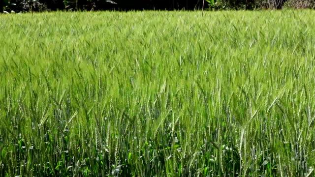 Wind blowing through barley field. video