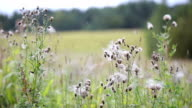 Wind blows off feathery pappus and overblown field flowers video