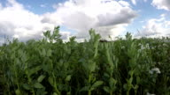wind in bean plants field. Timelapse video
