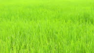wind on green grass in bright day video