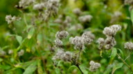 Wind Rustles Plant With White Seed video