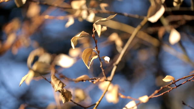 wind rustling yellow leaves trees in autumn outdoors close up shooting video
