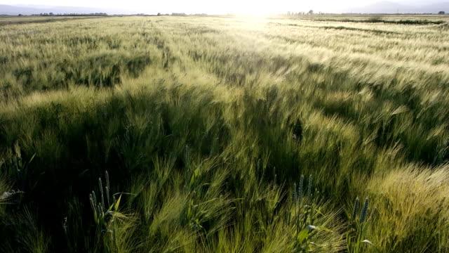 Wind Wheat fields video