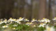 windflower - Anemone nemorosa video