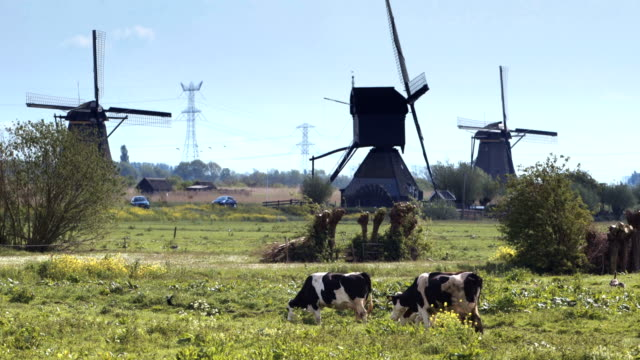 Windmill in Holland with cows grazing at green meadow. video