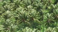 Windy coconut palms plantation in French Polynesia video