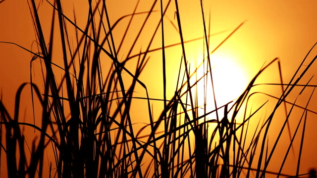 Windy Reeds and sunset background video