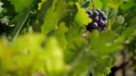 wine grapes in Napa video