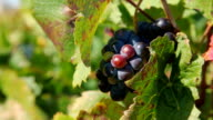 Winegrapes video