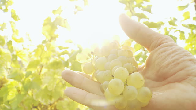 HD: Winegrower Checking Grapes video