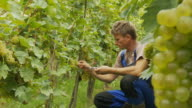 HD DOLLY: Winegrower Checking Ripeness video