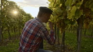 Winegrower checking the grape in vineyard video