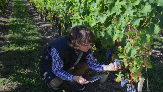 Winegrower examining the maturity of its grapes with a tablet in his vineyard video