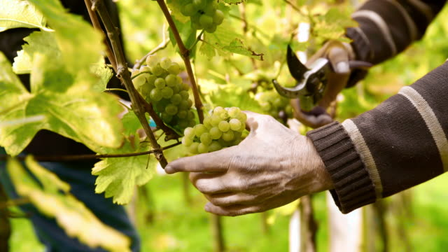 Winegrower harvesting grapes video