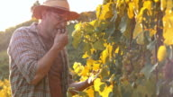 Winegrower tasting the grapes in sunny vineyard video