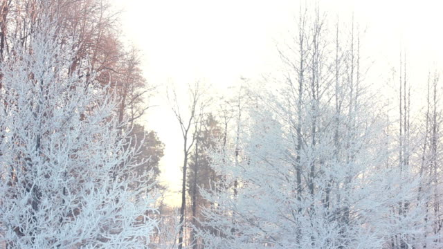 Winter background. Snow covered trees in winter forest video