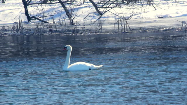 Winter bird. White swan on cold water. Swan and duck swimming in winter river video