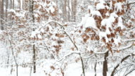 Winter forest. Oak trees with dry leaves under the fresh snow. video