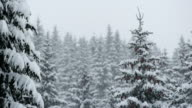 Winter Forest Of Spruce Trees video