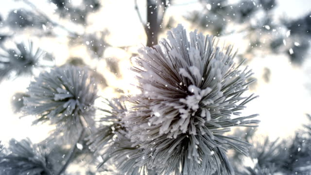 Winter frost on spruce tree and snowfall close-up video